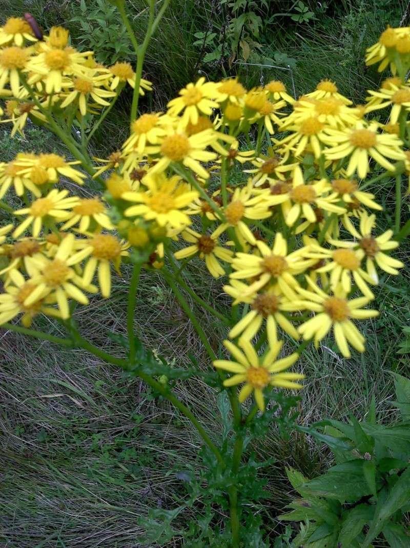 Séneçon jacobée / Jacobaea vulgaris P3007112