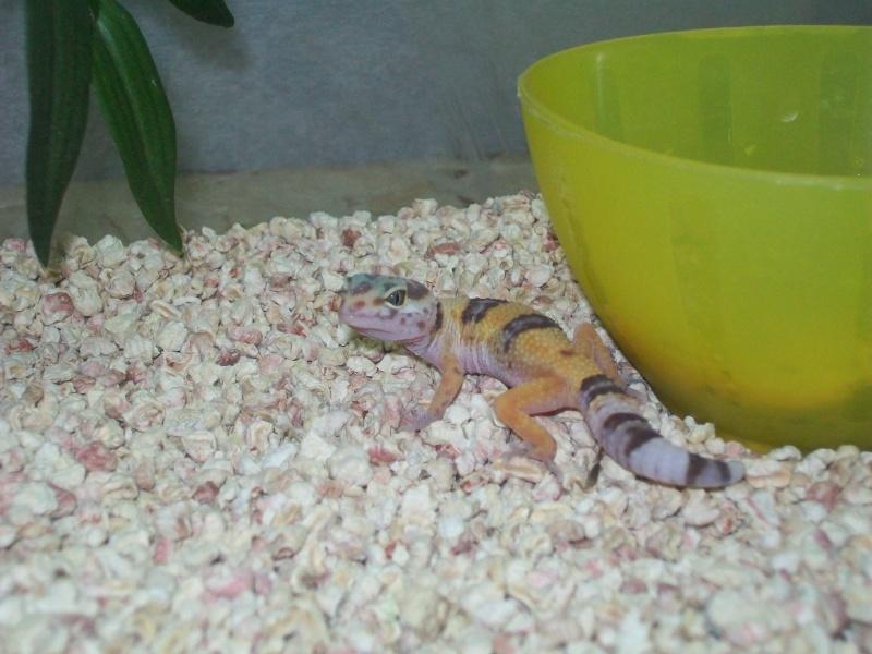 gecko qui ne chasse pas et d'autre questions 00110