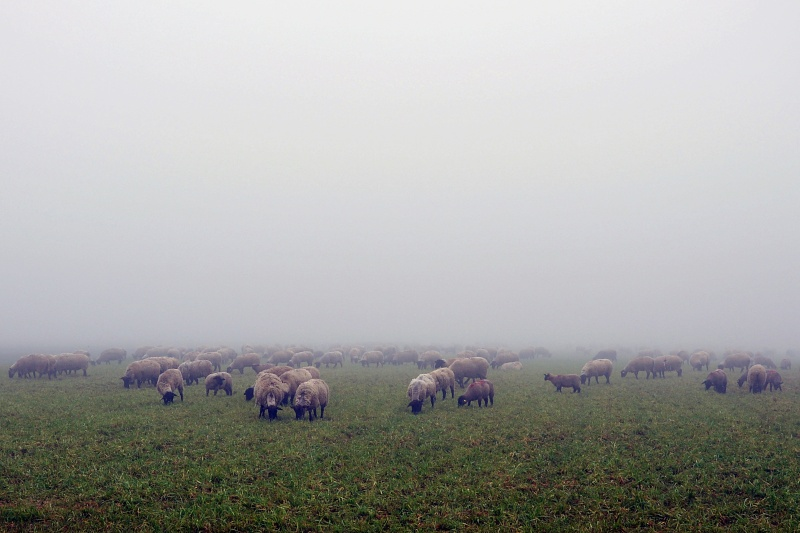 1 mouton ... 1000 moutons Dsc_1126