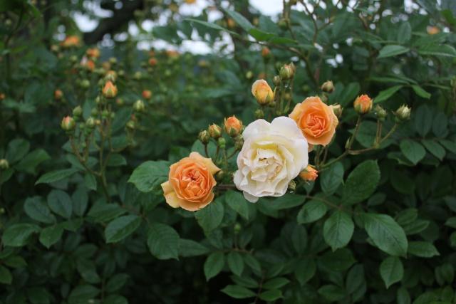 rosier 'Ghislaine de Feligonde' 03_06_11