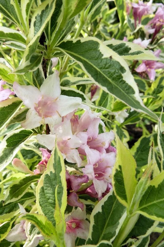 Weigela florida f. variegata 127_7010