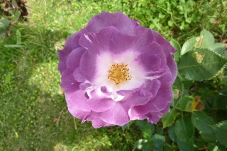 rosier 'Pacific Dream' - syn. 'Blue For You' 134_0710