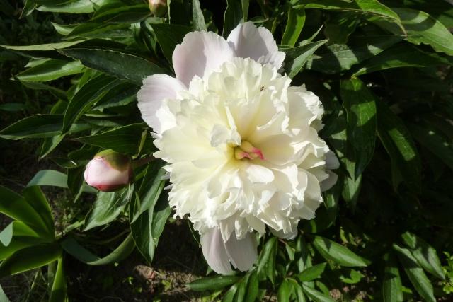 Paeonia - pivoines herbacées 135_2910