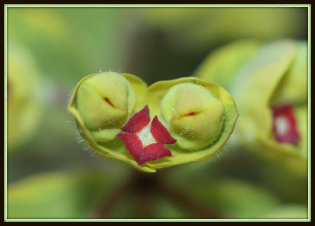 Euphorbia x martinii (amygdaloides x characias) 14_03_13