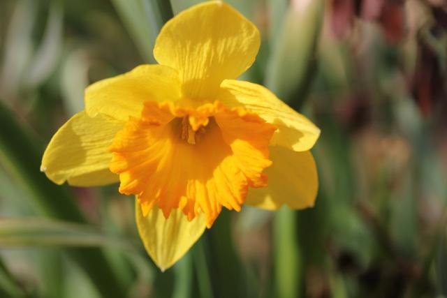 Narcissus - les narcisses 14_03_14