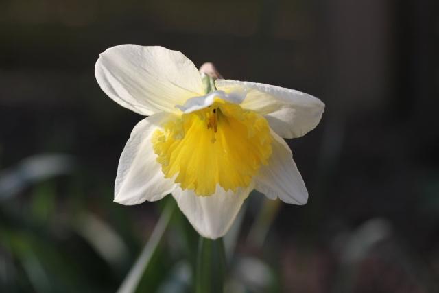 Narcissus - les narcisses 14_03_15