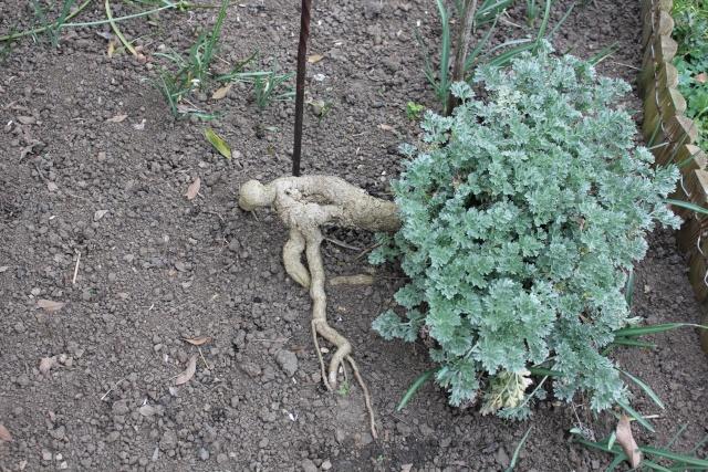 Artemisia absinthium 14_03_23