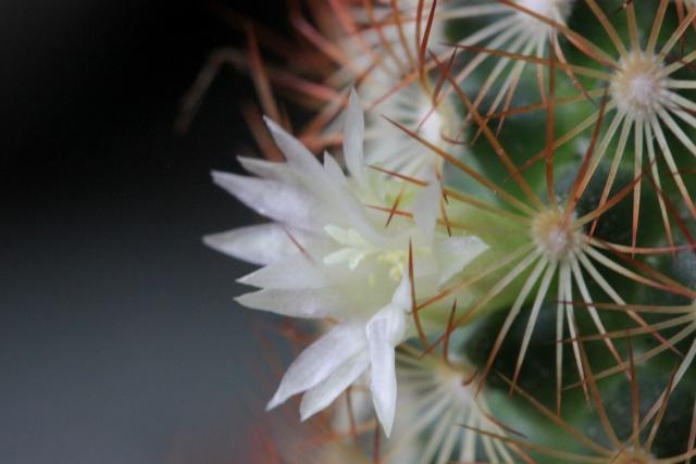 Mammillaria elongata ssp elongata [identification] 21_04_11