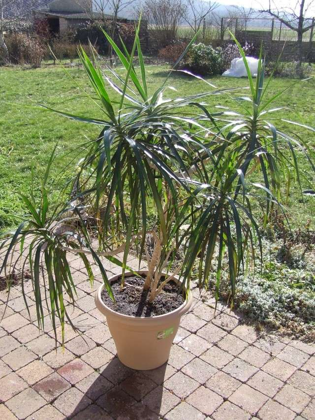 Dracaena marginata - dragonnier de Madagascar 22_02_11