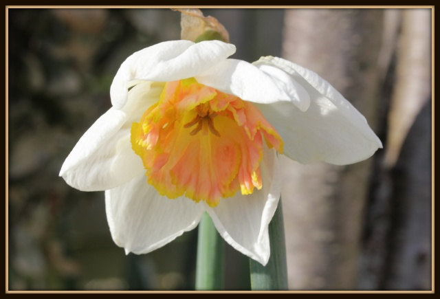Narcissus - les narcisses - Page 2 22_03_12