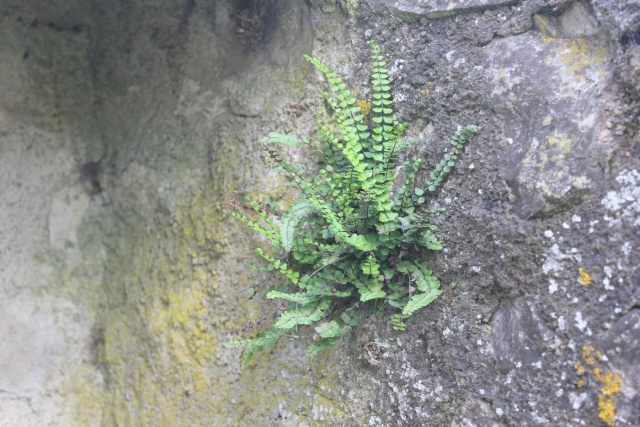 flore des vieux murs, rochers  et rocailles naturelles 22_05_12