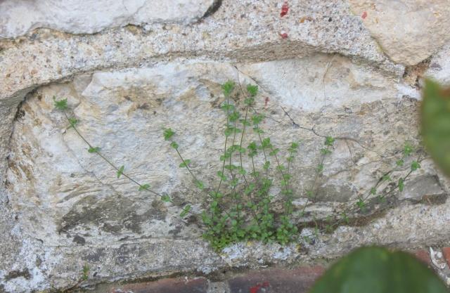 flore des vieux murs, rochers  et rocailles naturelles 22_05_13