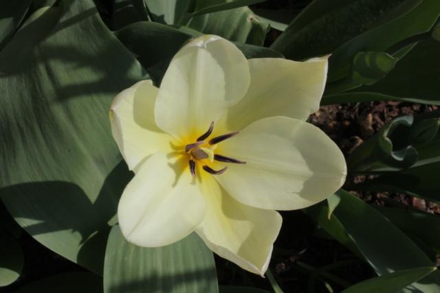 Tulipa - grands hybrides - tulipes chics et kitch (sections 1 à 11) 23_03_10