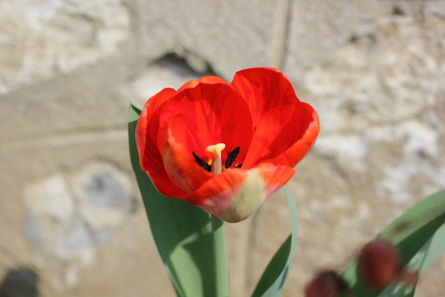 Tulipa - grands hybrides - tulipes chics et kitch (sections 1 à 11) 24_03_11