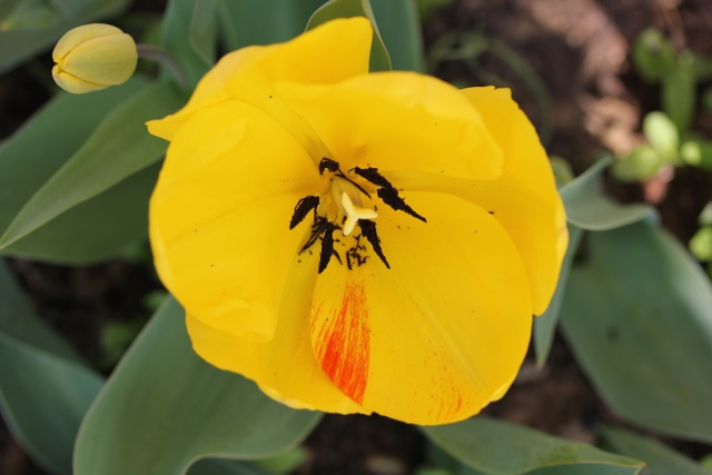 Tulipa - grands hybrides - tulipes chics et kitch (sections 1 à 11) 24_03_12