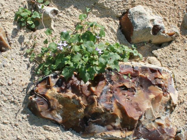 flore des vieux murs, rochers  et rocailles naturelles 26_05_11
