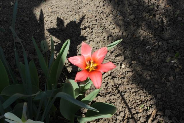 Tulipa - espèces et petits hybrides (sections 12 à 15) - Page 2 27_03_16