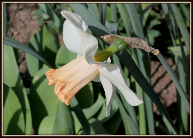 Narcissus - les narcisses - Page 2 30_03_11