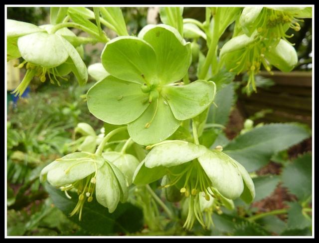 Helleborus - les hellébores, ou ellébores 46_610