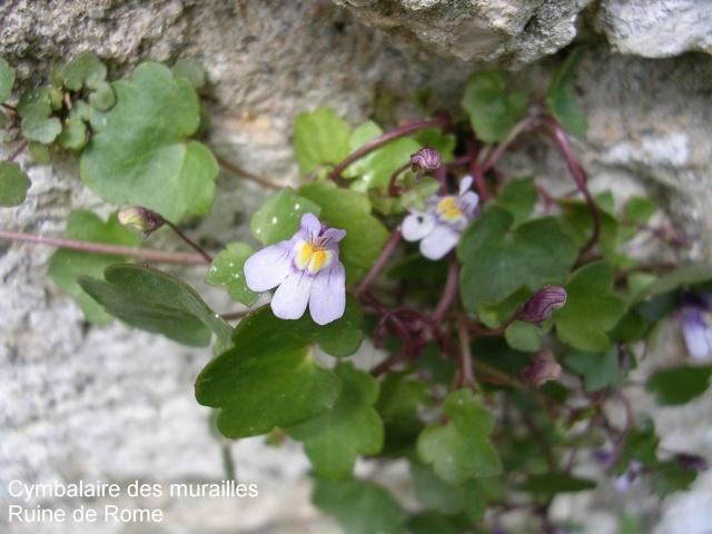 flore des vieux murs, rochers  et rocailles naturelles Cymaba11
