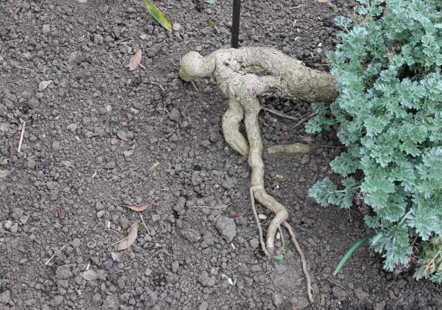 Artemisia absinthium Retouc10