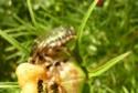 [Cetonia aurata] Cétoine dorée et banane 29_08_10