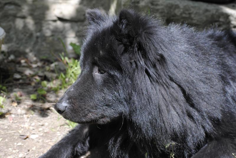 Notre Jack croisé chowchow groendal /Achille Dogue du tibet Jack_p15