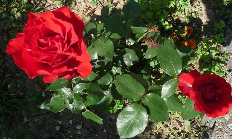 Les fleurs de FLEUR  - Page 2 P1010931