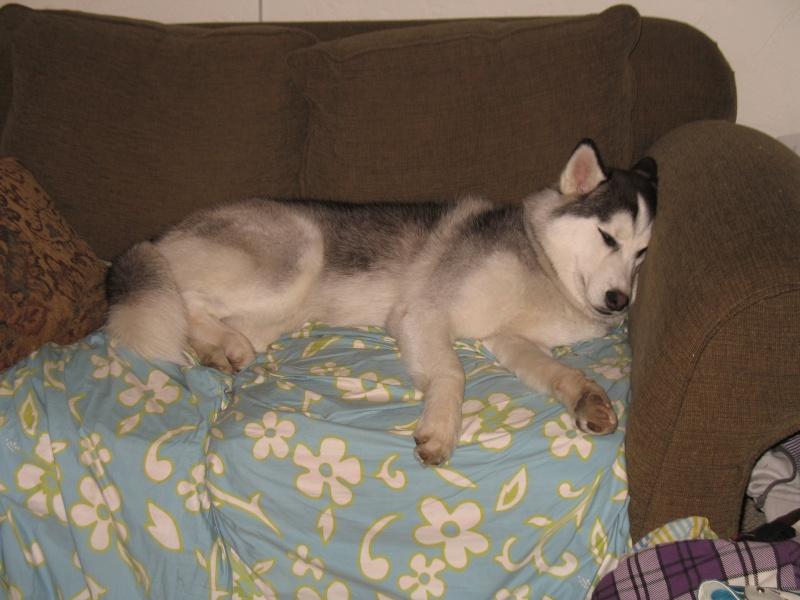 Show me your sleeping husky! 00211