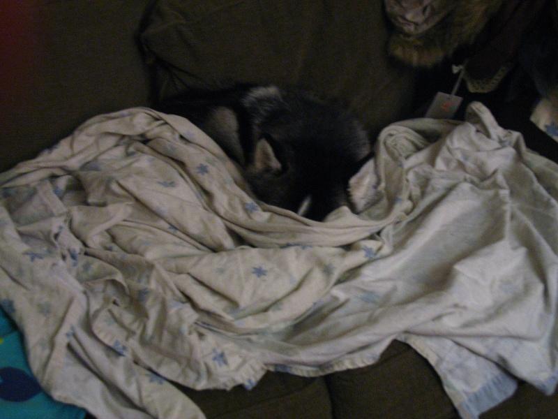 Show me your sleeping husky! 02311