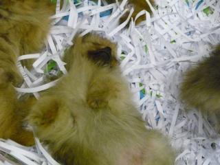 Salon du chiot et du chaton 2011 P1050335