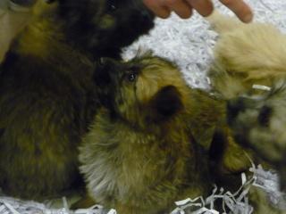 Salon du chiot et du chaton 2011 P1050339