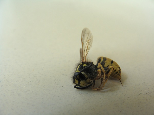Paravespula germanica Insect23