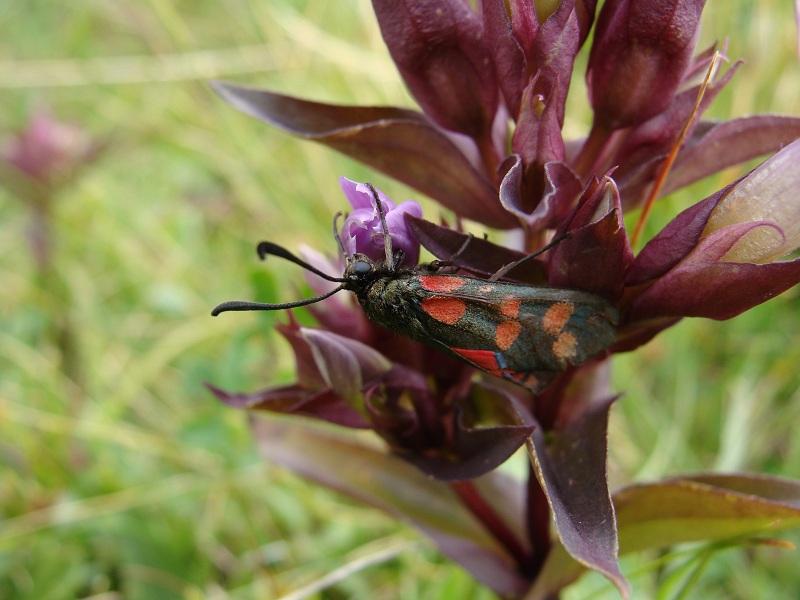 Zygaena transalpina Insect25
