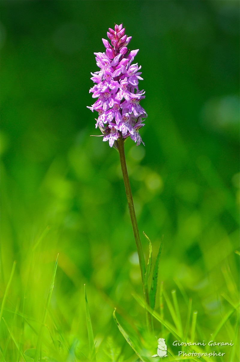 Un giro in Vezzosa Orchid10