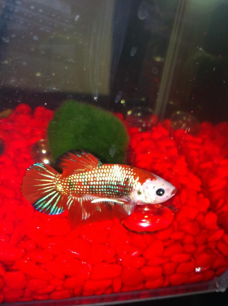 poisson abimé Rouge_10
