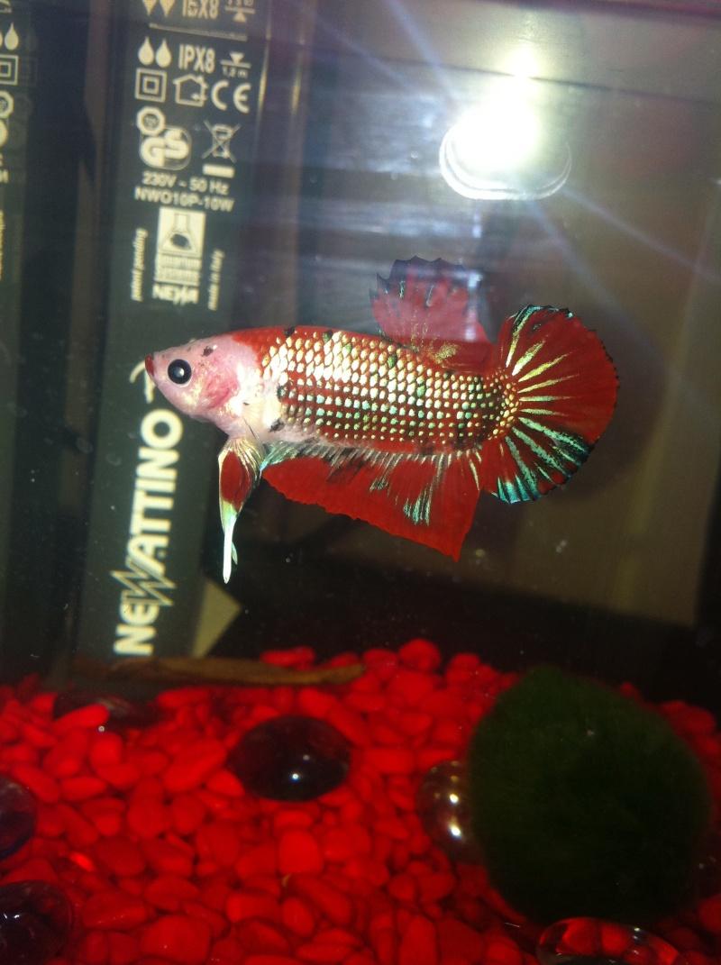 poisson abimé Rouge_11