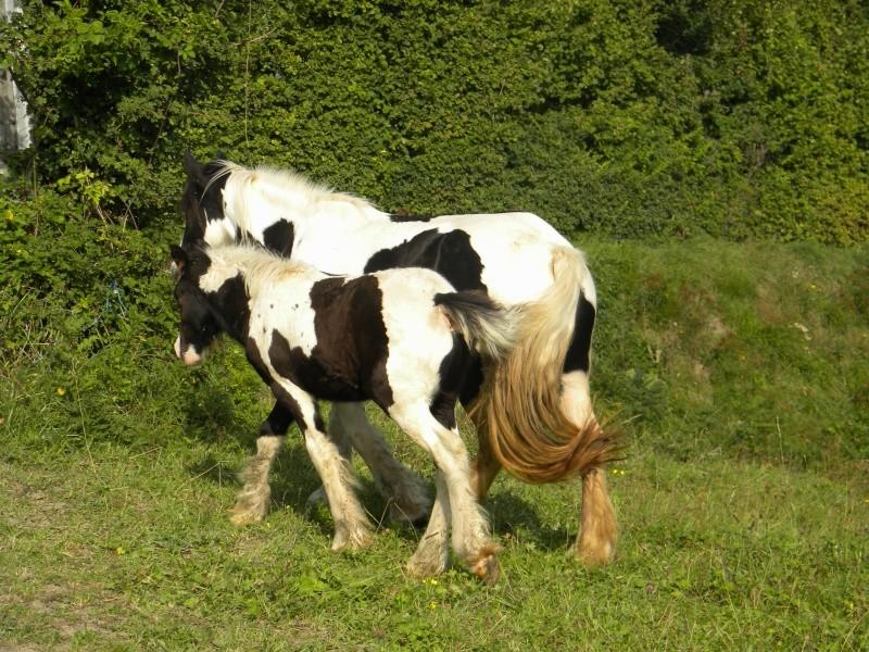 Petite Irish et son poulain de haute-Savoie 74 Dscn0218