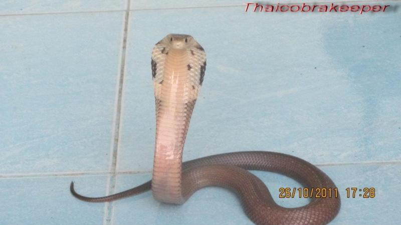 Speciale Cobra monocle Naja kaouthia Het.Axanthic 31173211