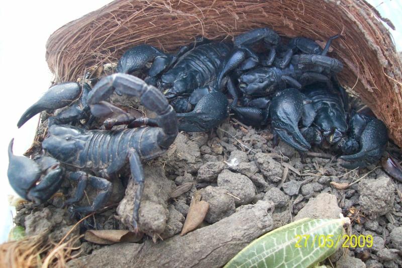 Mes scorpions noir thailandais Animal25