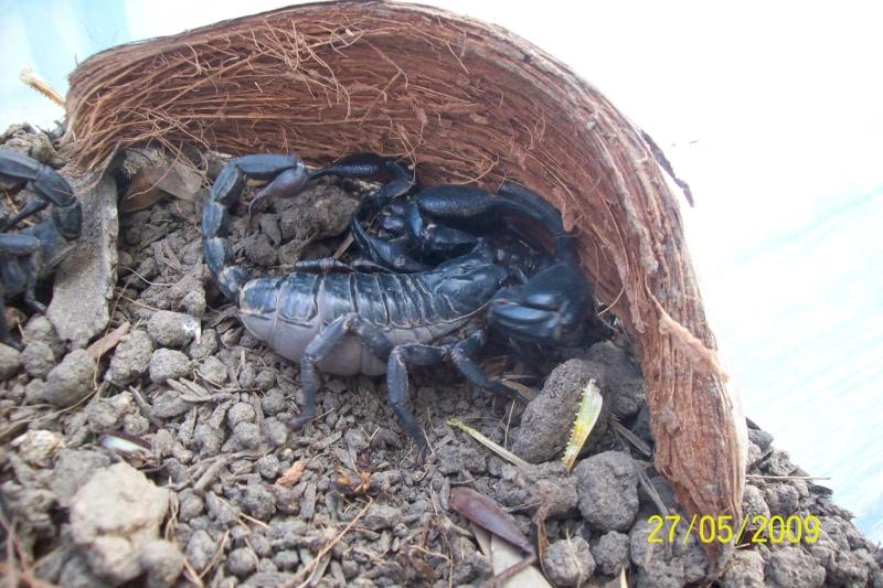Mes scorpions noir thailandais Animal26