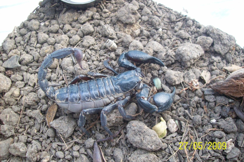 Mes scorpions noir thailandais Animal27