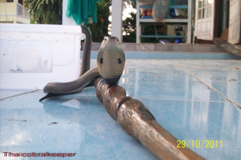Femelle et mâle cobra monocle Naja kaouthia Het.Calico Calico15