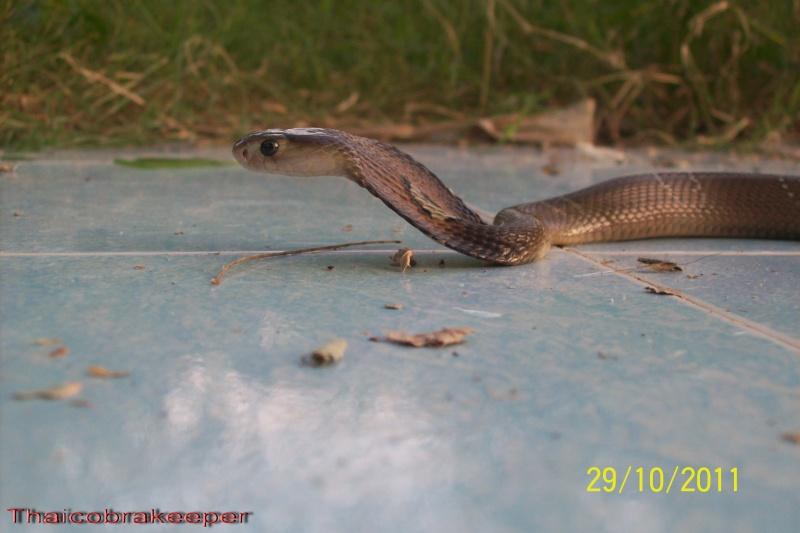 Femelle et mâle cobra monocle Naja kaouthia Het.Calico Calico17