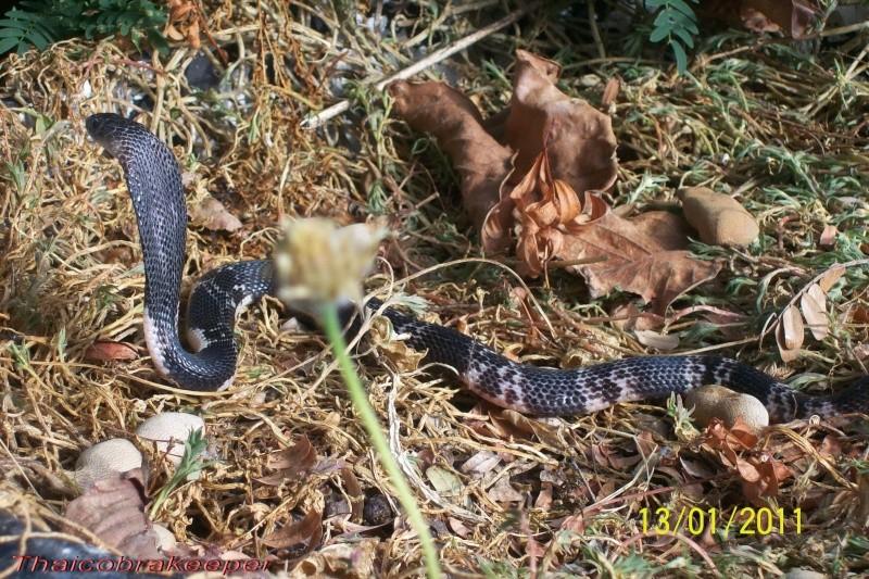 "Miss ""3"" femelle Cobra cracheur indochinois. Devil_24"