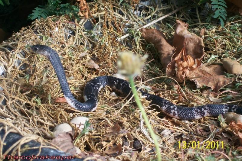 "Miss ""3"" femelle Cobra cracheur indochinois. Devil_25"