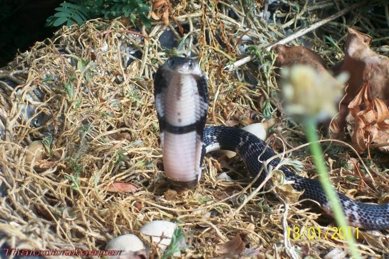 "Miss ""3"" femelle Cobra cracheur indochinois. Devil_26"