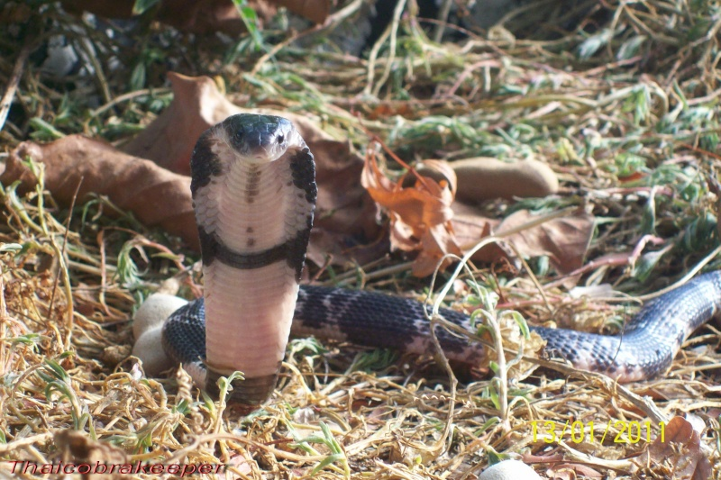 "Miss ""3"" femelle Cobra cracheur indochinois. Devil_27"