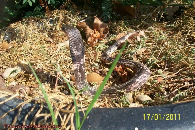 "Miss ""Devil's fork"" Cobra cracheur indochinois. Devil_34"