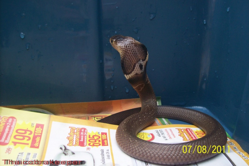 Femelle et mâle cobra monocle Naja kaouthia Het.Calico My_cal12